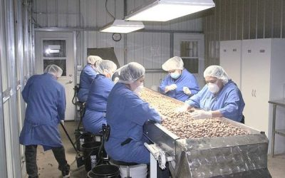 Oregon sees major hazelnut crop upswing