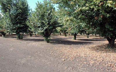 Study shows fungicides effectively limit hazelnut disease