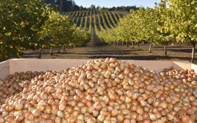 Hazelnut harvest falls short of expectations
