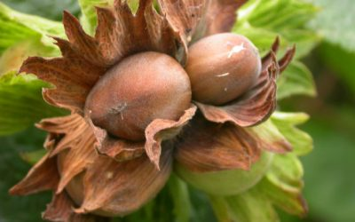 Hazelnuts are the Overlooked Tree Nut