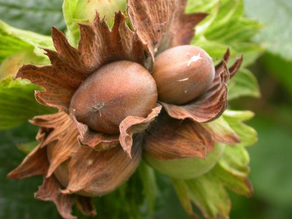Hazelnuts are the Overlooked Tree Nut