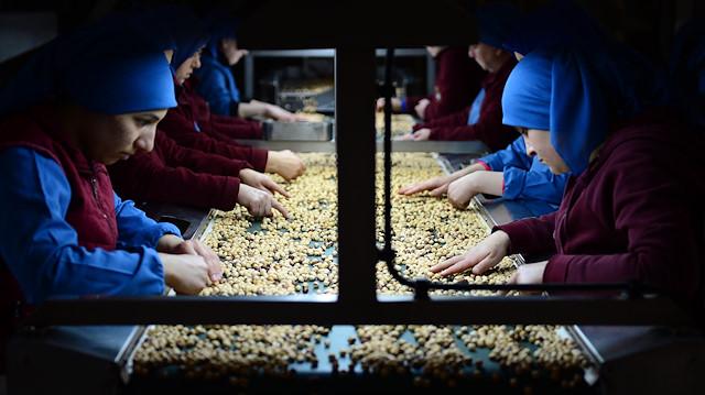 Turkish Hazelnut Factory