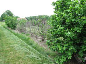 EFB Resitant Trees