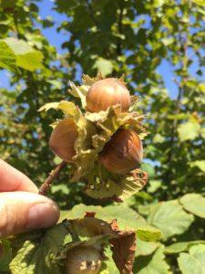 Hazelnuts in husk