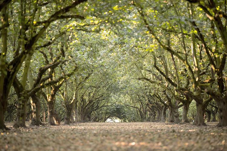 Oregon Hazelnut Production Forecast Dips 4%