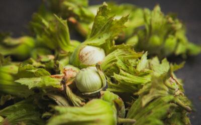 Oregon sees major hazelnut crop upswing