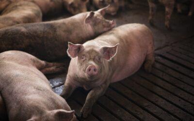 Biology Major Recruits Hogs to Help Hazelnuts
