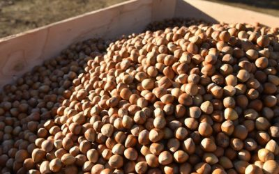 US hazelnut harvest on the horizon: 3 things buyers need to know