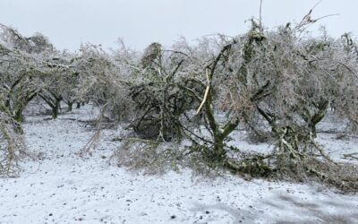 Oregon hazelnut orchards sustain severe ice damage