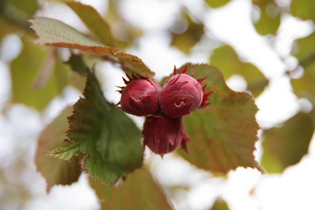 Oregon Hazelnuts Receive 15-20% Premium – Room to Grow.